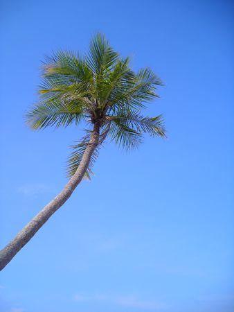 La singola palma di noce di cocco contro il cielo blu con copyspace ha trovato a Bintan, Indonesia