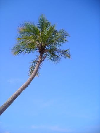 Single coconut palm against blue sky with copyspace found at Bintan, Indonesia