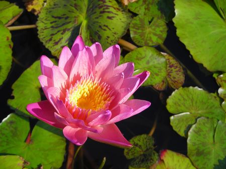 Single pink lotus flower floating in a pond