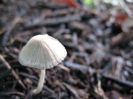 Closeup of single white mushroom on the ground