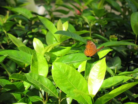 Lone butterfly spotlighted by the sunlight and found amongst green leaves.