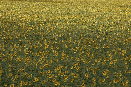 blissful: blissful field of sunflowers (field full of sunflowers. Stock Photo