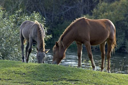 Two horses eating grass. Two horses graze in meadow, in the open air. Mare and foal photo