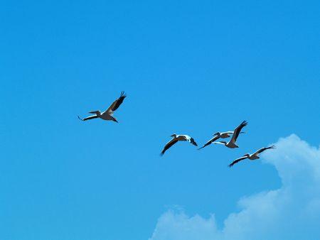 Pelicans in flight.  National park lake Manyara, Tanzania, Africa. photo