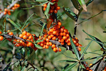 buckthorn: Berries of Sea buckthorn.Sea buckthorn branches with bright orange berries. Horizontal view. Stock Photo