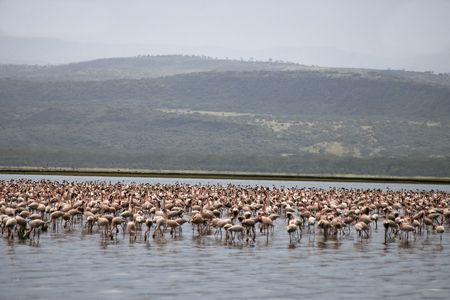 million: Million pink flamingos Famous lake Nakuru with million of pink flamingosNational Park   Stock Photo