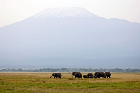highest: Mt. Kilimanjaro, the highest mountain of Africa. Herd of African elephants.view from National park Amboseli, Kenya