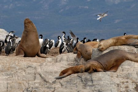 tierra: Relaxinng sealions and sea birds. Island in the Beagle Channel, Tierra Del Fuego, Ushuaia.
