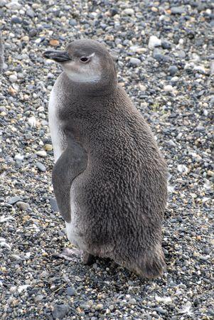 fuego: Loyely penguin near Ushuaia.Island near Ushuaia. Tierra Del Fuego, Argentina