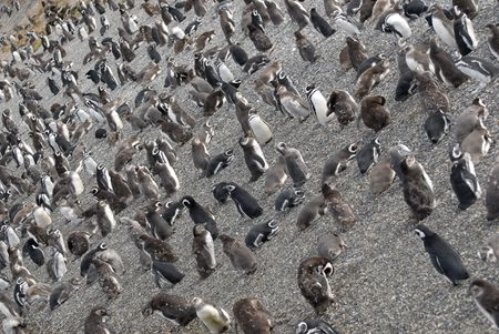 tierra: Many penguins near Ushuaia.Island near Ushuaia. Tierra Del Fuego, Argentina Stock Photo