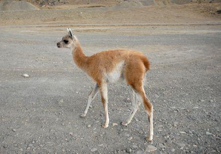 guanaco: One standing  guanaco