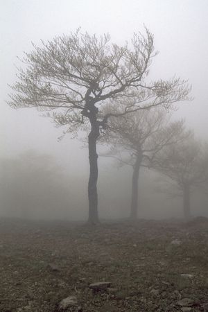 apparition: Fogs tree.Sring foggy forest.
