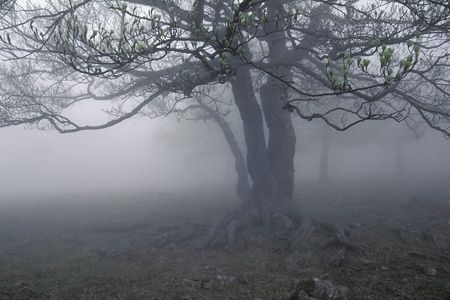 Fogs tree.Sring foggy forest. photo