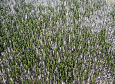 taiga: Aerial view of larch and conifer forest in spring.Ural  taiga landscape from a helicopter.