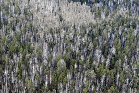thickets: Aerial view of larch and conifer forest in spring.Ural  taiga landscape from a helicopter.