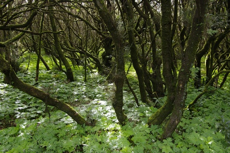 La gomera forest.  island La Gomera, Canary islands, Spain. Stock Photo - 8661560