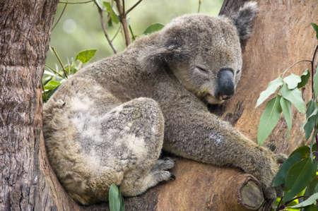 koalabeer: Een Koala in een natuurgebied in de buurt Sydney, Australië