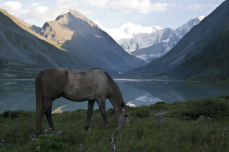 Horse, Lake Ak-kem  Altay State Nature Reserve, Russia  At the background - mount Belukha, highest point of Altay Mountains  Stock Photo - 16762770