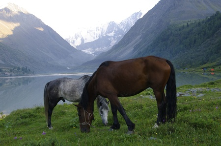 Horse, Lake Ak-kem Altay State Nature Reserve, Russia  At the background - mount Belukha, highest point of Altay Mountains  Stock Photo - 16762782