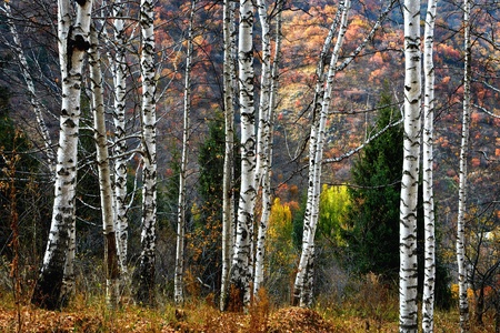 Birch Grove in autumn mountains photo