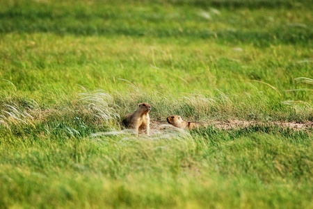 Groundhogs near the hole in prairie photo