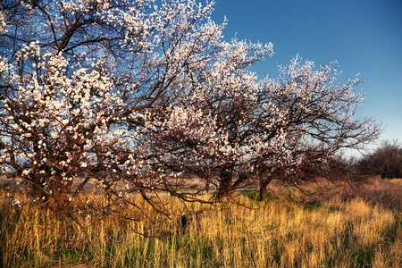 Blooming wild apricot trees and morning photo