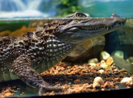 alligator eyes: Cayman underwater in the aquarium