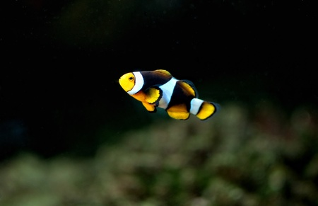 Small anemonefish in the aquarium photo