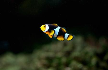 Small anemonefish in the aquarium photo