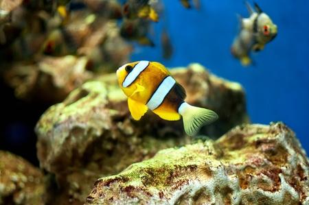 amphiprion ocellaris: Small anemonefish in the aquarium
