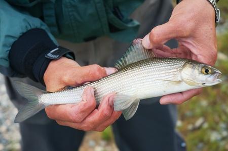 grayling: Fly fishing on Lake Hoton Nuur in Mongolia -  grayling fish