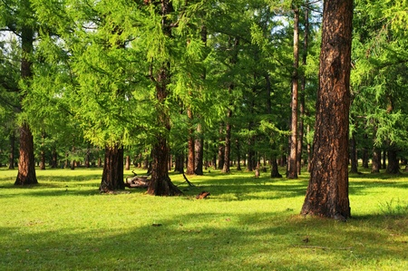 coniferous forest: Pine trees in the summer forest