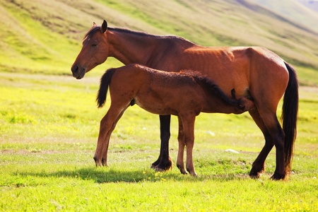 Young horse drinking milk from his mother photo