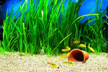 민물의: 수족관에있는 작은 골드 바브 물고기의 그룹