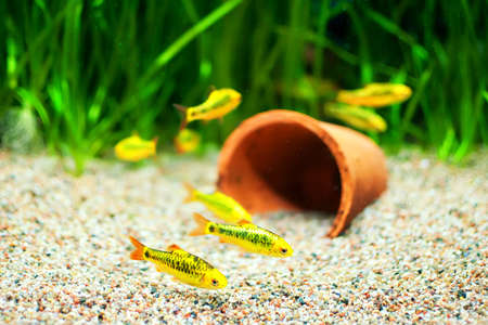 a freshwater fish: Group of a small Gold Barb fish in an Aquarium Stock Photo
