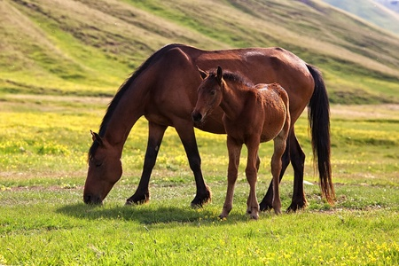 Mare and foal in the mountains photo