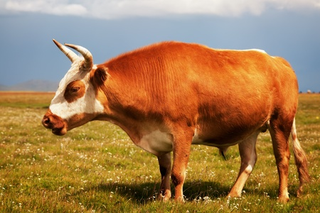 beef cattle: Red bull on pasture and clouds Stock Photo