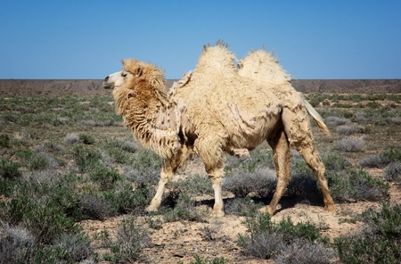 molting: Molting white bactrian camel in desert of Kazakhstan Stock Photo