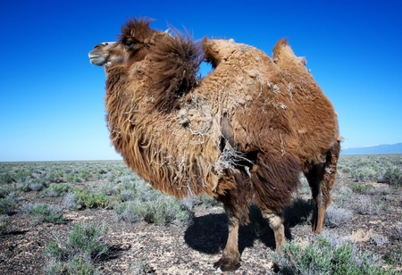 molting: Molting brown bactrian camel in desert of Kazakhstan