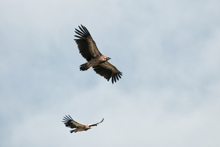 beak vulture: Two of Himalayan Griffon Vulture in sky