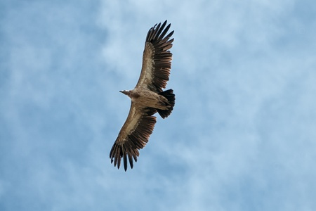 bald ugly: Himalayan Griffon Vulture in sky