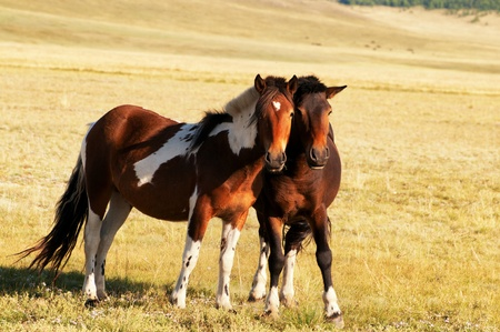 mongolia horse: Two free horses in mongolia