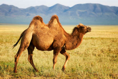 One camel in the mongolia Stock Photo