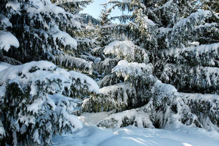 conifer: Winter pine trees and new snow