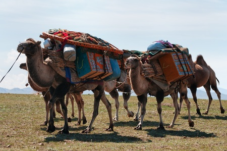nomad: Caravan of camels transporting dismantled tent of Mongolian nomads to a new location