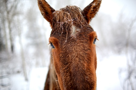 Portrait horse in winter forest photo