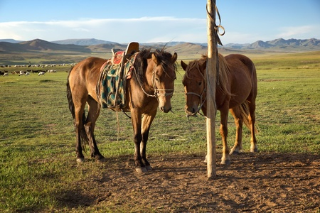 rural community: Horses on a leash in the Mongolia