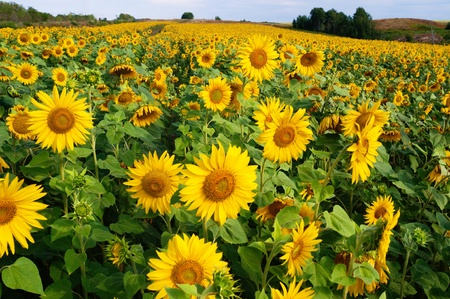 sunflower field: Agriculture stock image - Sunflower field Stock Photo
