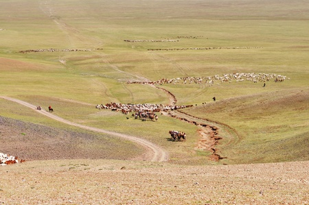 migrate: Herds of sheep migrate to a new pasture in Mongolia
