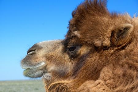 molting: Portrait of brown bactrian camel in desert of Kazakhstan